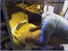 Preparación de la Tortuga Gigante Terrestre hallado en Bella Vista, Provincia de Corrientes.