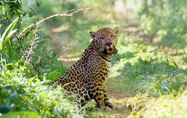 El yaguareté Guacurarí fue encontrado muerto por la caza furtiva en el parque Urugua-í.