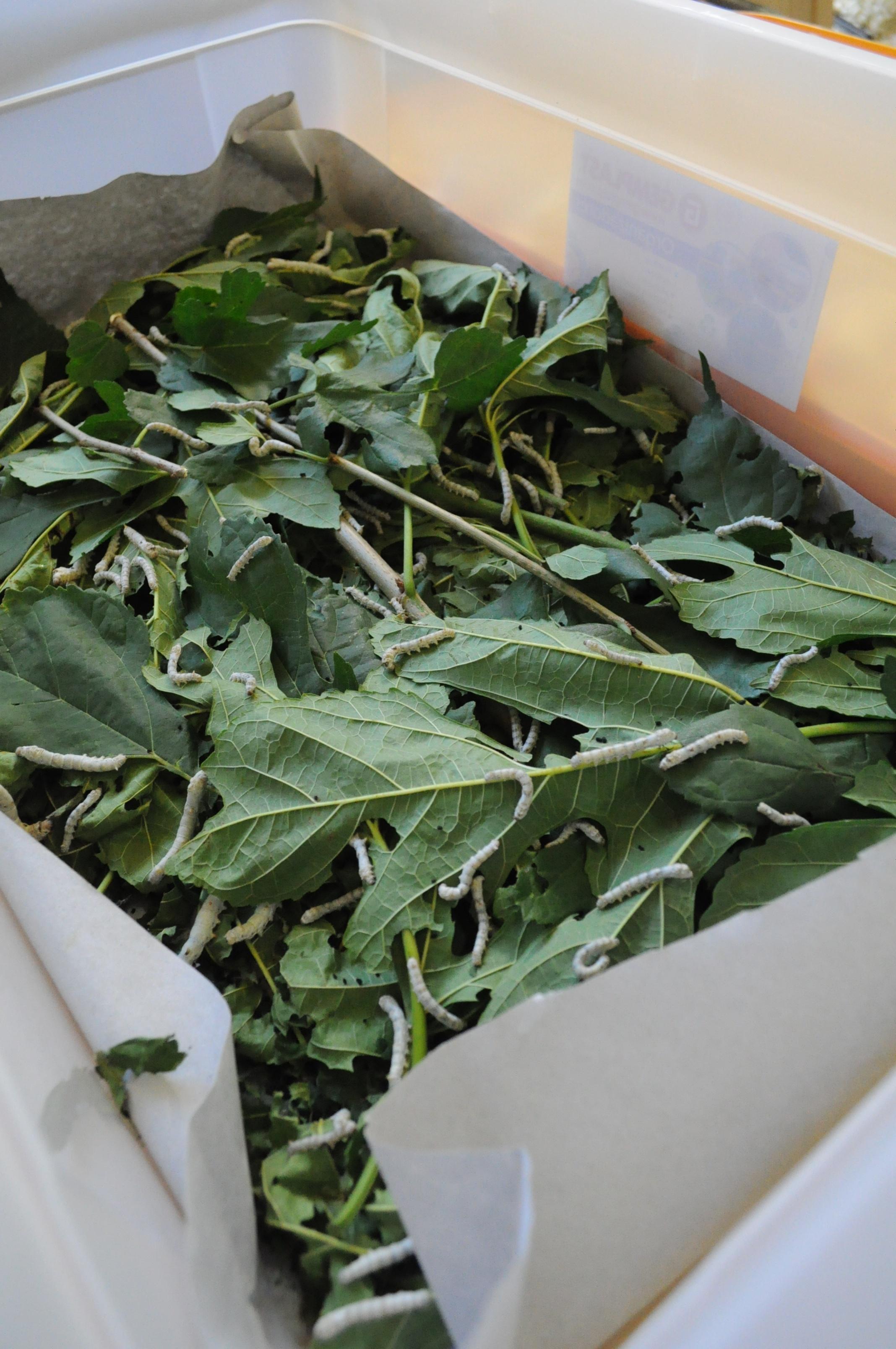 Seda natural, uno de los productos que se desarrollan en el Parque Tecnológico de Misiones.