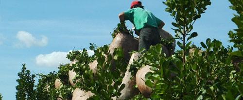 Néstor Ortega indicó que en las condiciones actuales, el costo de mano de obra es de 67 centavos por kilo de hoja verde.