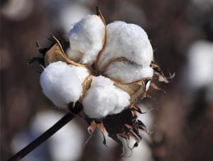 algodón 1