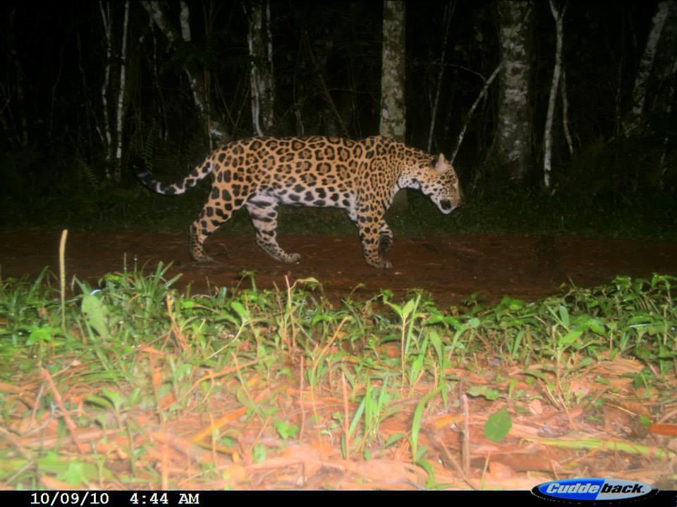 Primer registro de Guasú en el Parque Nacional Iguazú en el año 2010.jpg