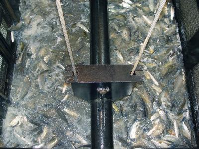 Los peces son atraídos por una corriente artificial hasta el ascensor que los eleva para liberarlos en el embalse.