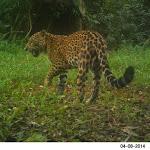 Se registró a una nueva cría de yaguareté en la selva misionera