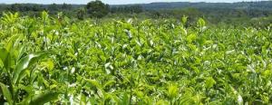 Misiones: tierra de producción orgánica para exportación