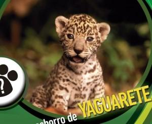 Concurso Yaguareté: KA´AGUY JÁRA es el nombre del pequeño felino