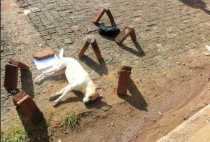 Vecinos indignados por matanza de perros y gatos en Itaembé Miní