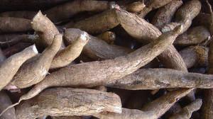 Piden medidas de protección para la producción de mandioca misionera
