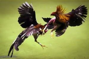Empieza la temporada de riñas de gallos: ¿son legales?