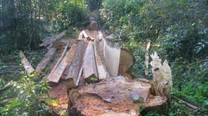 Detectan nueva tala de ejemplares de Palo Rosa en Andresito