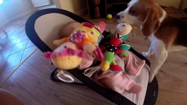Perro con culpa llena de regalos a la bebé de la casa tras robarle su juguete