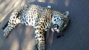 Un yaguareté fue atropellado en la Ruta Provincial 19