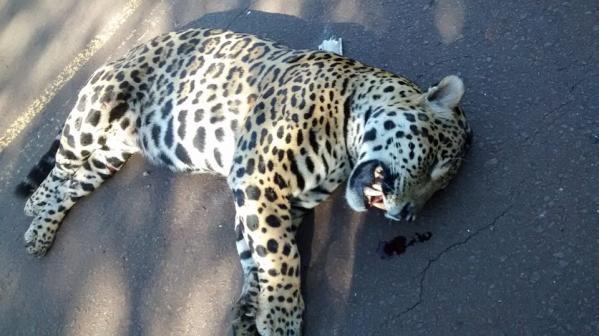 Se llamaba Guasú el yaguareté que murió atropellado