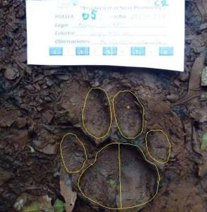 Nuevo registro de huella de yaguareté en el centro de Misiones