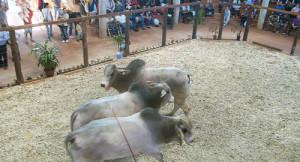 Más de 600 cabezas de ganado saldrán a remate hoy en Montecarlo