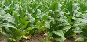 Mañana cobrarán casi 15 mil tabacaleros y se distribuirán unos 29 millones de pesos