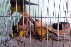 Pintaba loros y los vendía como aves exóticas: quedó detenido