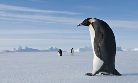 Encontraron restos de un pingüino gigante en la Antártida