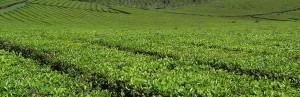 Tealeros piden 2,95 pesos por kilo de brote verde