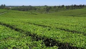 Se estancaron las negociaciones para definir el precio del té