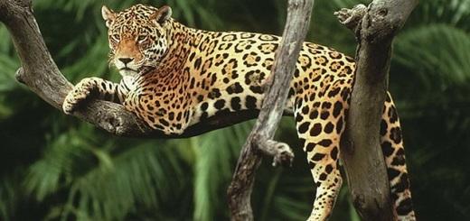 Multaron con 500 mil pesos a un local de Buenos Aires que ofrecía en venta la piel de un yaguareté