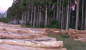 Plan Leña Renovable: en octubre entregarán más de 3 millones de plantines de eucalipto a un total de 1.169 pequeños productores