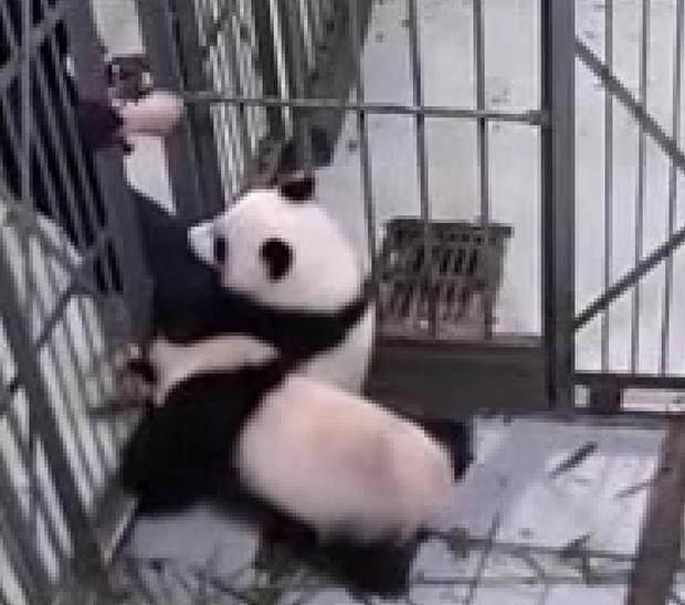 Un amor incondicional: pandas abrazan a su cuidador