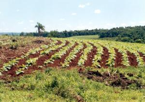 Tabaco: Advierten que los pagos del fondo de Granizo demorarán al menos diez días