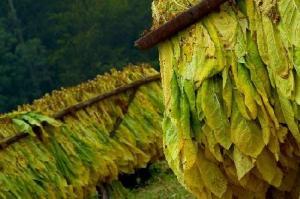 """Instituyen el 8 de octubre como """"Día del Productor Tabacalero"""""""
