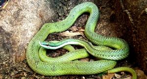 """La colorida """"culebra nariguda"""" es apreciada como mascota exótica, sin embargo, un estudio confirmó que su veneno es peligroso."""