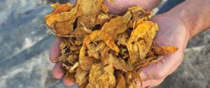 Agricultura habilitó el pago de $ 75 millones para el sector tabacalero de Misiones
