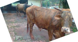 En San Vicente secuestraron dos vacas, dos camionetas y un acordeón robados