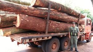 Secuestran 25 toneladas de madera nativa y detienen a un camionero