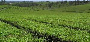 Advierten crecimiento en la concentración de la producción tealera