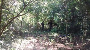 La Policía detectó una plantación de marihuana cerca de Capioví e incautó 242 plantines