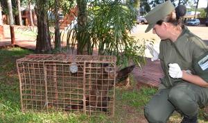 """Luego de un rastrillaje, Gendarmería rescató un mono """"caí"""" en el barrio Caballeriza de Oberá"""