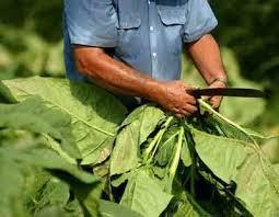 Indican que fue un buen año para el sector tabacalero