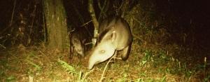 La cacería furtiva afecta en forma negativa a los tapires de Misiones