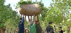 Yerba mate: la cosecha 2014 ya es la mayor de la historia