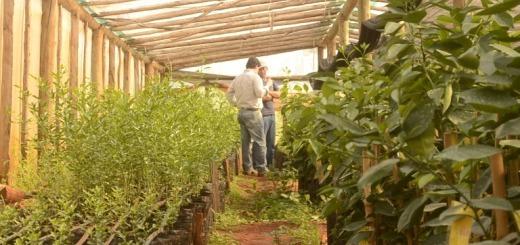 Senasa destruyó 51.500 plantas cítricas en Montecarlo