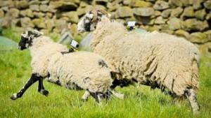 Insólito: proponen ponerle wifi a las ovejas para mejorar la conectividad