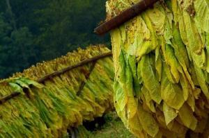 Anticipan una merma de 35% en la producción tabacalera