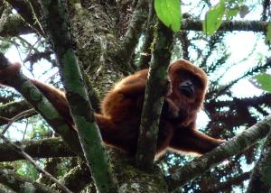 Advierten que se podrían extinguir los monos carayá rojo en Misiones