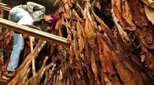 Tabaco: indican que fue un buen año para el sector productivo