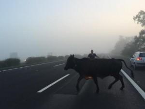 Rumbo a la playa en Porto Alegre: ganado invadió la ruta y provocó un accidente