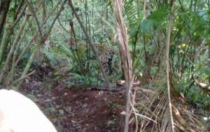 Filman un yaguareté en un sendero de Cataratas del Iguazú
