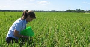 Se perdieron cuatro mil hectáreas de arroz en Corrientes por las inundaciones