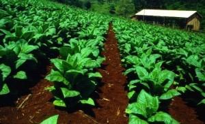 Tabaco: aseguran que los costos de producción aumentaron un promedio de 35 por ciento