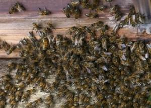 Dos personas fueron atacadas por abejas en la costanera de Candelaria