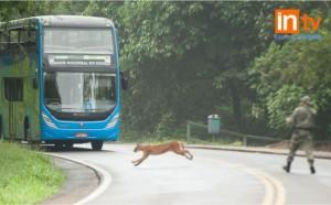 Un Puma fue avistado en el lado Brasileño del Parque Nacional Iguazú